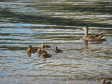 The Duck Family by s0050463, Photography->Birds gallery