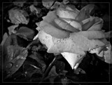 Raindrops On Rose Petals... by Roseman_Stan, photography->flowers gallery