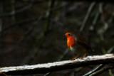 Desktop Dickie Bird by biffobear, photography->manipulation gallery