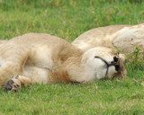 What Lions Do in the Day by garrettparkinson, photography->animals gallery