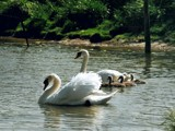 Swan's family by ppigeon, Photography->Birds gallery