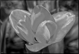 The Tulip in B&W by tigger3, contests->b/w challenge gallery