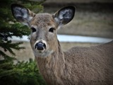 Deer by picardroe, photography->animals gallery