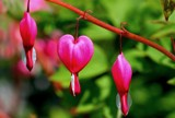 Bleeding Hearts by snapshooter87, photography->flowers gallery