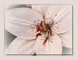 Lily #4 by LynEve, photography->flowers gallery