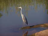 Heron. by SusanVenter, Photography->Birds gallery