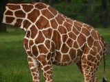 Giraffe by anderbre, Contests->Breaking Rules gallery