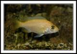 Cichlid by Bursa, photography->pets gallery
