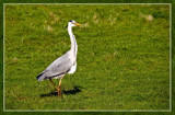 Proud Heron by corngrowth, photography->birds gallery