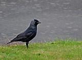Jackdaw by biffobear, photography->birds gallery