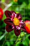 Dahlia Show 51 by corngrowth, photography->flowers gallery