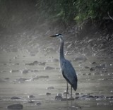 HERON by picardroe, photography->birds gallery