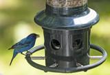 Indigo Bunting by gharwood, photography->birds gallery