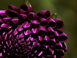 Purple Pompon by LynEve, photography->flowers gallery