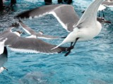 Seagull Swoop by Goldendog, photography->birds gallery