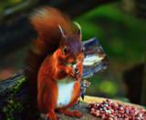 Big Red by biffobear, photography->animals gallery