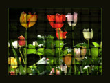 Tulip Weavings by verenabloo, Photography->Manipulation gallery