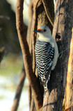 Mr. Redbelly by tigger3, photography->birds gallery