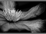 Clematis b&w by pom1, Photography->Flowers gallery