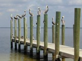 Standing Room Only -- Brown Pelicans by sailorman6309, Photography->Birds gallery