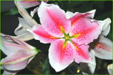 Lily  In The Raw by braces, Photography->Flowers gallery