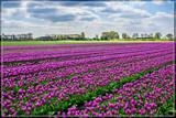 Zeeland Tulip Fields 10 by corngrowth, photography->flowers gallery