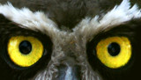 owl eyes by jeenie11, Photography->Birds gallery