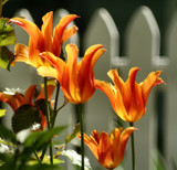 Filled with Fire!  by verenabloo, Photography->Flowers gallery