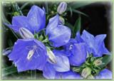 Campanula - Takion Blue by trixxie17, photography->flowers gallery
