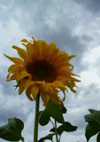 Sunflower by mercy16, Photography->Flowers gallery