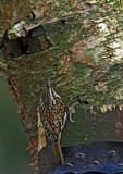 Treecreeper by biffobear, photography->birds gallery
