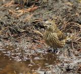 Juvenile Crossbill by biffobear, photography->birds gallery