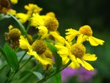 Pretty Yellow Posies by zippee, Photography->Flowers gallery