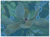 Magnolia  by allisontaylor, Photography->Manipulation gallery