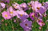 Mexican Aster (Cosmos Bipinnatus) Field by corngrowth, photography->flowers gallery