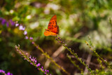 Gulf Fritillary by Pistos, photography->butterflies gallery