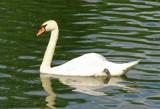 Swan 2 by ccmerino, photography->birds gallery