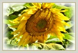 Two Hours On Monday - Sunny Sunflower by LynEve, photography->flowers gallery