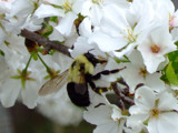 Spring Is Very Beezy by connodado, Photography->Nature gallery