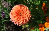 Zinnia and Company by jerseygurl, photography->flowers gallery