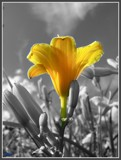 Lily with Selective Color by ccmerino, Photography->Manipulation gallery