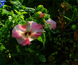 Hibiscus Garden Foofies by tigger3, photography->flowers gallery