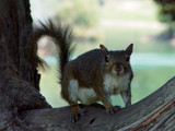 Mr. Squirrel by cctruckee, Photography->Animals gallery
