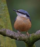 Nutty by biffobear, photography->birds gallery