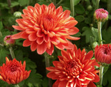 Coral Mums by trixxie17, photography->flowers gallery