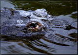 Gator Eye by Foxfire66, photography->reptiles/amphibians gallery