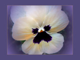 Gentle Pansy by LynEve, Photography->Flowers gallery