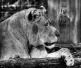 The Lioness Profiled by tigger3, contests->b/w challenge gallery