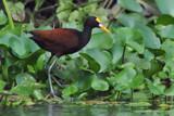 Northern Jacana by garrettparkinson, Photography->Birds gallery