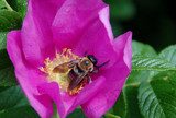 bumblebee on a beach rose by solita17, photography->insects/spiders gallery